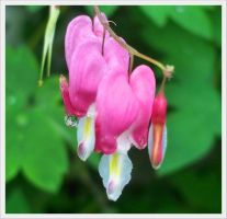 bleeding hearts by barefootphotos