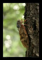 Japanese Cicada by SpicyHamster