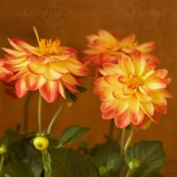 dahlias by morettina