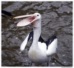 Open wide Pelican by TVD-Photography