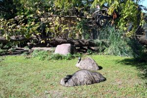 Emu at the Zoo by cynstock