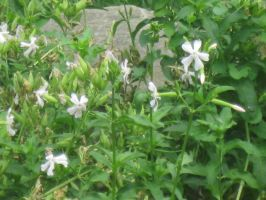 White Flowers 4 by moulinrougegirl77