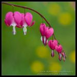 Bleeding hearts by allym007