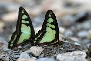 Graphium cloanthus kuge II by fire