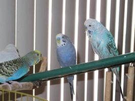 Our Four Budgies 2 by Windthin