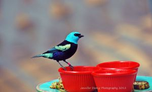 Blue-necked Tanager by MorrighanGW