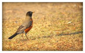 Robin Red Breast by Snowleopard59