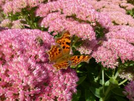 Comma Butterfly, Bee and Sedum on Campus by SrTw
