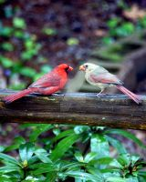 Cardinal Courtship by GhostInThePines