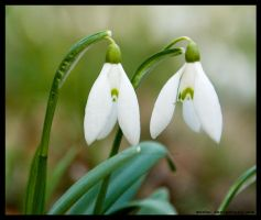 little messengers of spring by morho