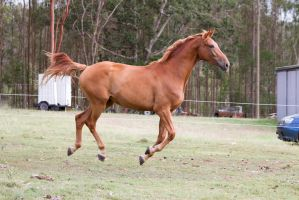 Dn Warmblood chestnut canter side view by Chunga-Stock