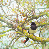 Magpie by TammyPhotography