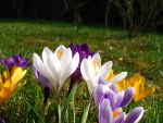 Crocuses III by rah87