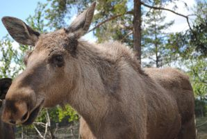 moose by catrine13246