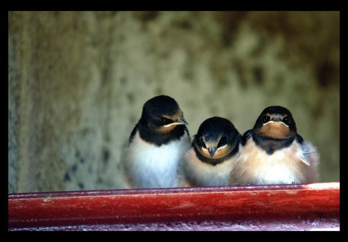 Swallows I by mikeb79