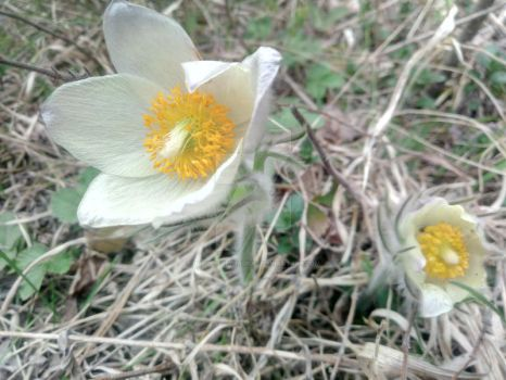 Pasqueflowers_11 by Double-of-Magrat