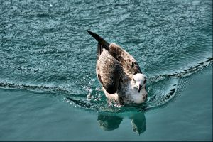 seagull 26 by Robalka