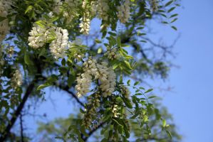 White acacia in bloom stock #1 by croicroga