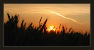 Field of grain Sunset by tomir