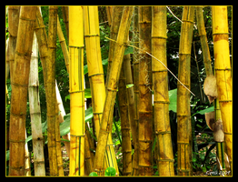 Bamboo Forest by Lil-Miss-Strange