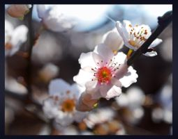 plum blossoms by bracketting94