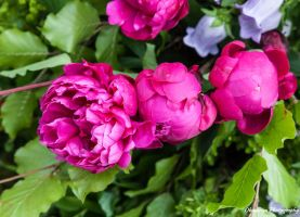 CFS Miscellaneous-2 Peonies by Okavanga