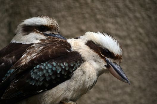 Kookaburra by Choccylover
