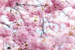 Cherry blossoms by HampusAndersson