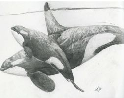 Two orcas by liquidspoof