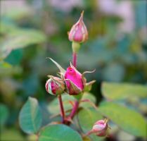 Pink Rosebuds by MissSpocks