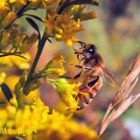 Wasp on Goldenrod.. by madlynx