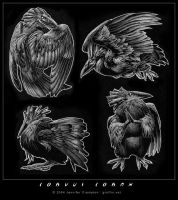 corvus corax by gruffin