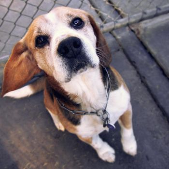 Max the Beagle by pixi3angeldreamx