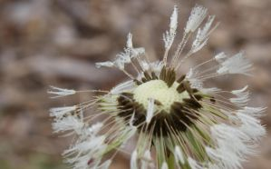 Dewy Dandelion by Gwend-O-Ithilien