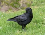 Crow 1503.18 by Dilong-paradoxus