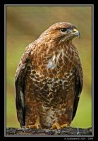 Buzzard by andy-j-s