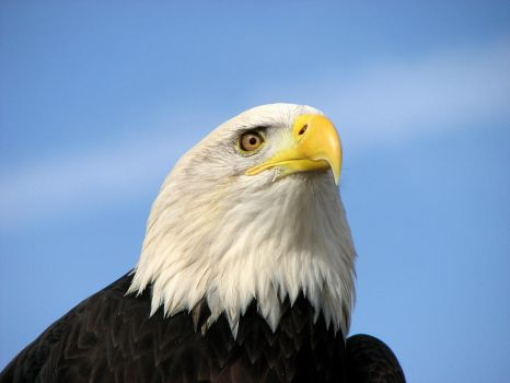 American Bald Eagle by dreaming-of-serenity