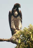 Martial Eagle by AfricanObserver