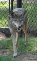 North American Red Wolf by FantasyStock