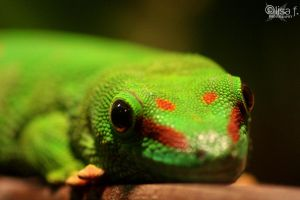 gecko by LisaFPhotography