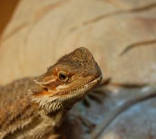 Bearded Dragon by TannerIsLove