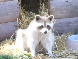 Racoon Hamming it Up by MadForHatters