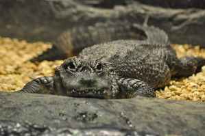 Chinese Alligator by teresastreasures72