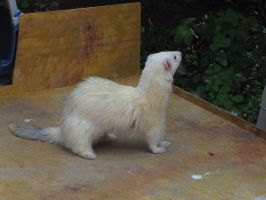 Ferret 02 by animalphotos