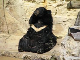 Asiatic Black Bear by afira