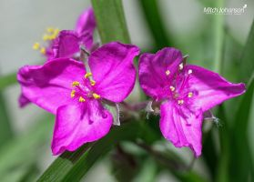 Two in Magenta by mjohanson