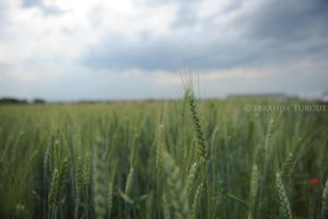 cornfield by ITphotography