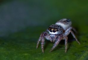 September Jumping Spider 12 by otas32