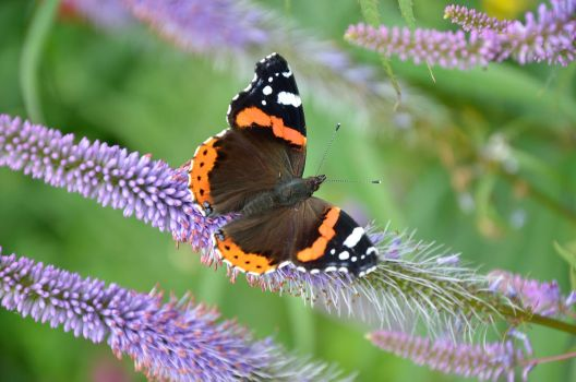 RED ADMIRAL by major-holdups