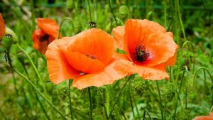 Poppies by Noncsi28